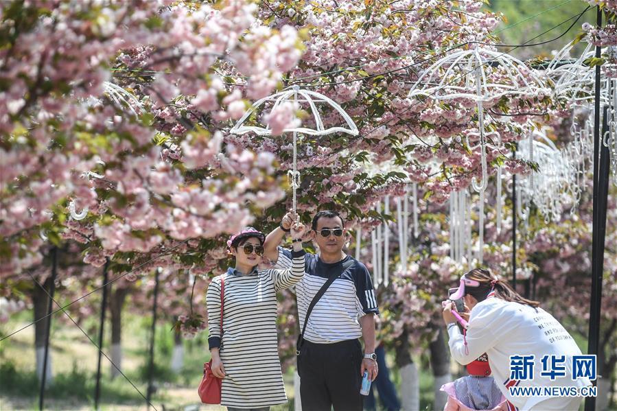 5月10日,游客在大连市旅顺口区二零三樱花园内拍照。 新华社记者 潘昱龙 摄
