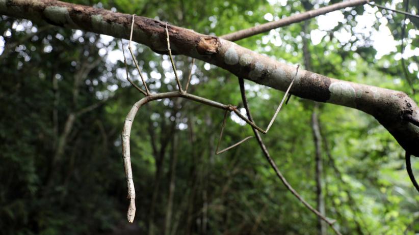 我国科学家首次野外放归世界最长昆虫幼体