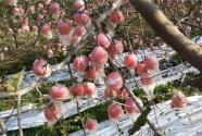 """山西运城:锯""""树""""锯出一城好苹果"""
