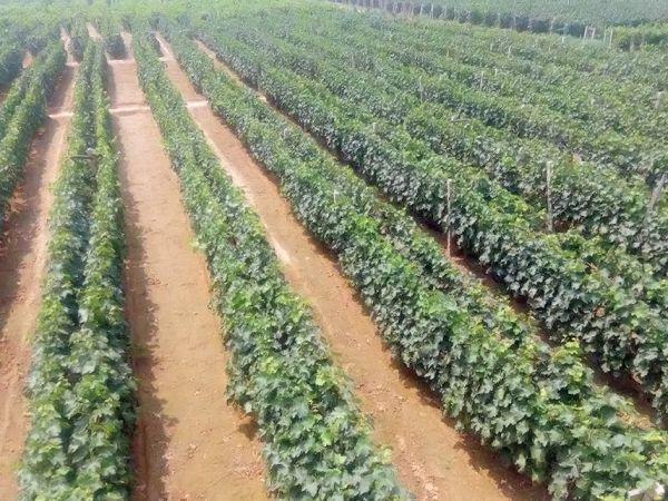 新河县葡萄采摘园