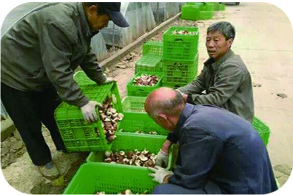 农户正在储存香菇