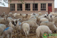 """""""扶贫羊""""顶开致富门"""