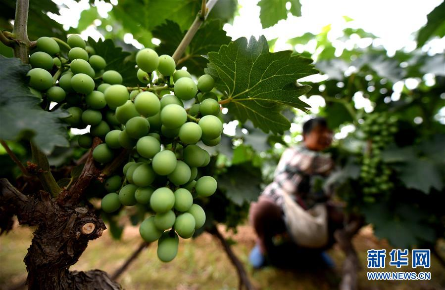 (新华全媒头条·图文互动)(4)一个传统农业县的脱贫之路——来自河北新河的调查报告