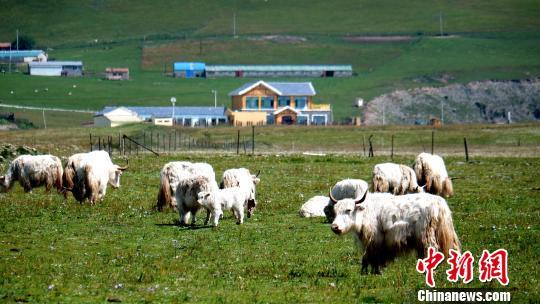 图为生态牧场上的白牦牛。 李隽 摄