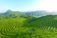 广东丰顺:以茶为媒 共促绿色经济