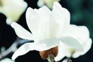 """我爱洁白的玉兰花一一献给奋战在""""战疫""""一线的白衣天使"""