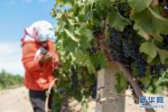 新疆焉耆:酿酒葡萄进入采摘季