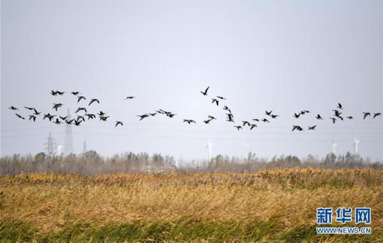 (环境)(3)七里海湿地迎候鸟迁徙季